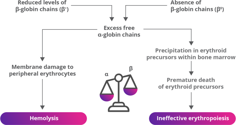 ß-Thalassemia Is Characterized By ß-Globin Gene Defects